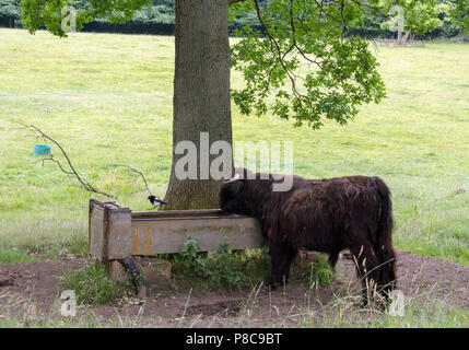 GLASGOW, SCOTLAND - JULY 10th 2018: A small Highland cow sharing the water with a magpie at Pollok Country Park. - Stock Photo