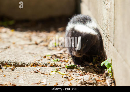 Skunk in Backyard Stock Photo: 112604066 - Alamy