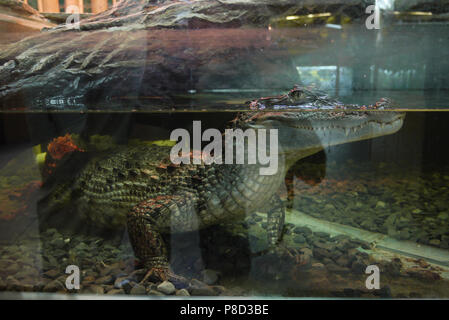 An aquarium with a crocodile, whose body is in the water, and a head with terrible terrible teeth above the water . For your design - Stock Photo