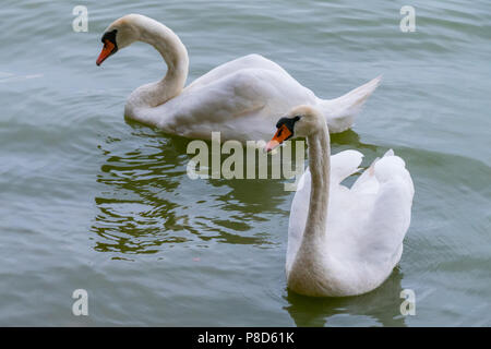 Two white swans with red-black beaks like a couple of lovers . For your design - Stock Photo