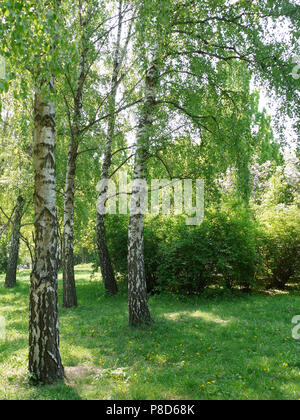 a green lawn with soft grass growing in the shade in a small grove of white birches . For your design - Stock Photo