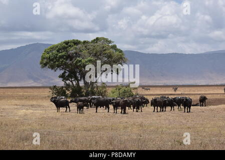 Buffalo herd in Ngorongoro Crater - Stock Photo