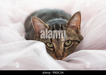 tabby cat lying on the bed and looking at camera - Stock Photo