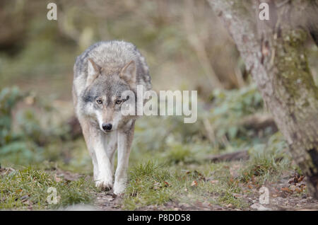 Wolf in the forest focused on prey - Stock Photo