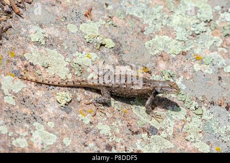 Plateau Lizard (Sceloporus undulatus), Gateway Mesa Open Space Park on lichen covered rock, Castle Rock Colorado US. - Stock Photo