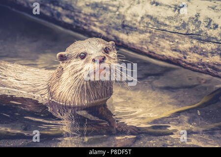 Close up image of an Asian small-clawed otter (Aonyx cinereus) with copy space. - Stock Photo