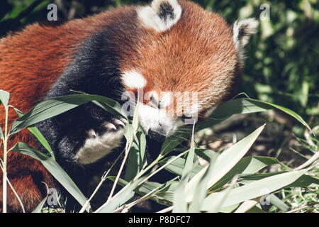 Close up image of a Red Panda (Ailurus fulgens) with copy space - Stock Photo