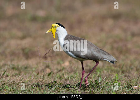 Masked Lapwing (Vanellus miles), Cape York Peninsula, Far North Queensland, FNQ, QLD, Australia - Stock Photo