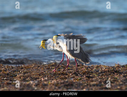 A pair of Masked Lapwings (Vanellus miles) calling on the beach, Cape York Peninsula, Far North Queensland, FNQ, QLD, Australia - Stock Photo