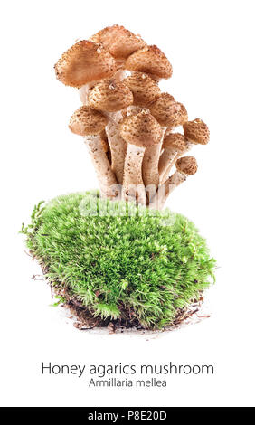 Mushrooms honey agarics (Armillaria mellea) on moss in a forest scene, isolated on white background - Stock Photo
