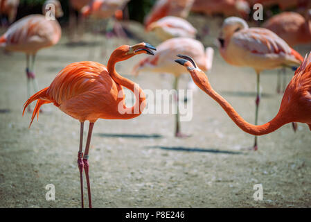 Two Caribbean Flamingos in fight - Stock Photo