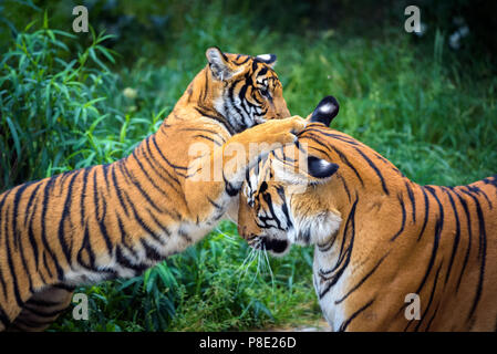Two young malayan tigers fighting - Stock Photo