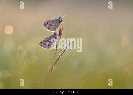 Common blue butterflys (Polyommatus icarus) on a plant, Thuringia, Germany