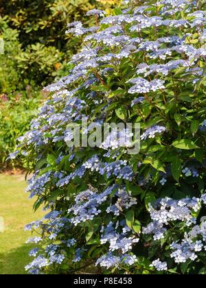 Blue and white lacecap flowers of the summer blooming hardy shrub, Hydrangea serrata 'Bluebird' - Stock Photo
