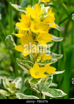 Bright yellow summer flowers complement the variegated foliage of the hardy spotted loosestrife, Lysimachia punctata 'Alexander' - Stock Photo