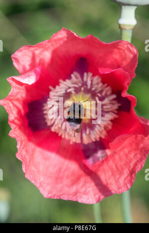 Bombus lucorum. Bumblebee hovering over a papaver somniferum poppy in an English country garden - Stock Photo