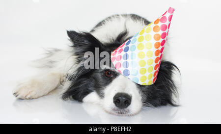 CUTE BORDER COLLIE LYING DOWN WEARING A POLKA DOT HAT PARTY ISOLATED ON WHITE BACKGROUND - Stock Photo
