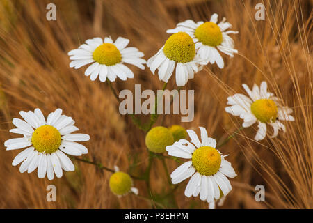 Ox-eye daisies in barley field, Angus, Scotland. - Stock Photo