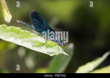 Blauflügel-Prachtlibelle, Prachtlibelle, Männchen, Calopteryx virgo, bluewing, Beautiful Demoiselle, demoiselle agrion, male, le Caloptéryx vierge, le - Stock Photo