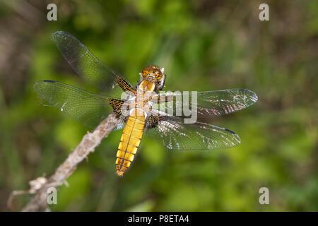 Plattbauch, Weibchen, Plattbauch-Libelle, Plattbauchlibelle, Libellula depressa, Broad-bodied Chaser, Broadbodied Chaser, broad bodied chaser, broad-b - Stock Photo