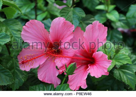 Bright Pink Hibiscus Flower - Stock Photo