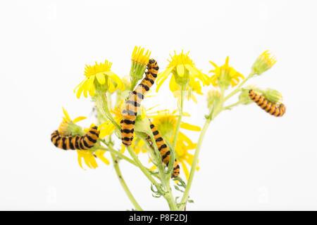 Cinnabar moth caterpillars, Tyria jacobaeae, photographed in a studio on a white background, feeding on ragwort Jacobaeae vulgaris. North Dorset Engla - Stock Photo