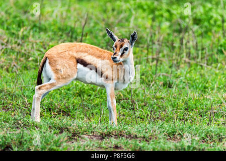 Wild Thompson's gazelle Eudorcas thomsonii - Stock Photo