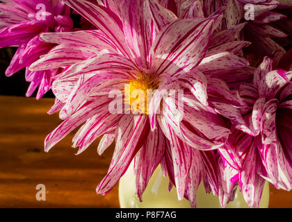 Close up of a red and white cactus dahlia in a buquet of cut flowers. - Stock Photo