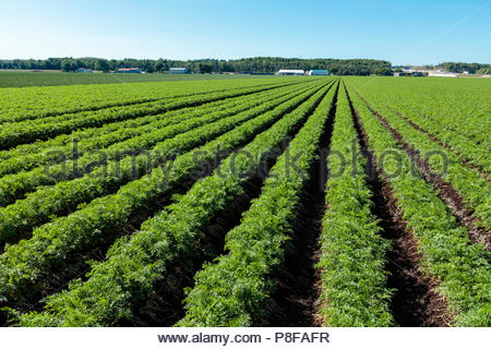 Carrot crop growing in a field on a polder marsh farm near Bradford Ontario Canada Holland Marsh - Stock Photo