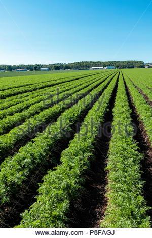 Carrot crop growing in a field on a polder marsh farm near Bradford Ontario Canada Holland Marsh - Stock Photo