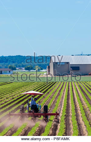 Tractor cultivator tilling a carrot crop growing in a field on a polder marsh farm near Bradford Ontario Canada Holland Marsh - Stock Photo