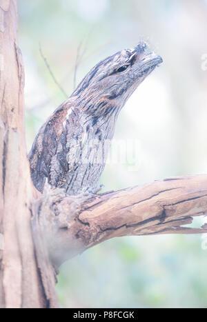 Tawny frogmouth (Podargus strigoides) bird perched on eucalyptus branch, Melbourne, Victoria, Australia - Stock Photo