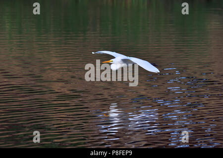 An Australian, Queensland nonbreeding Great Egret ( Ardea alba ) flying over a Lagoon - Stock Photo