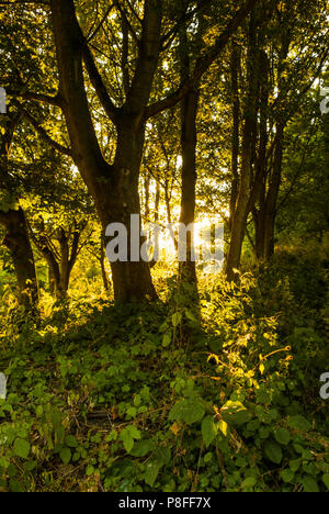 A low sun shines through trees at the end of a summer day. - Stock Photo