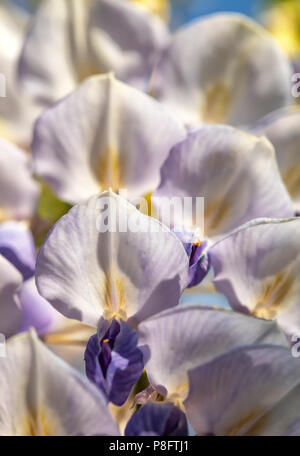 Close-up view of wild wisteria blooms, focused on the white petals. - Stock Photo