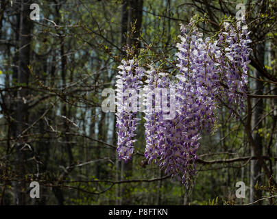Blooming purple and white wisteria flowers on woodland vines. - Stock Photo