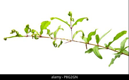 Ecology Concept, Fresh Green Pomegranate or or Punica Granatum Leaves on Tree Branch Isolated on White Background. - Stock Photo