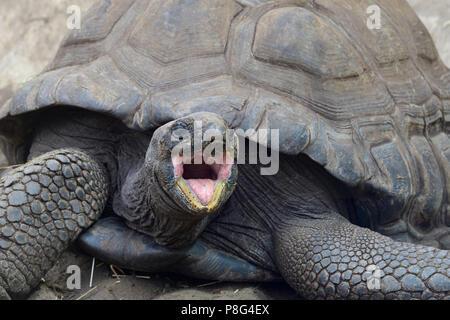 Aldabra-Riesenschildkröten (Aldabrachelys gigantea), endemisch, Insel Curieuse, Seychellen, Afrika - Stock Photo
