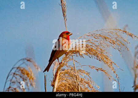 common rosefinch, male, (Carpodacus erythrinus) - Stock Photo