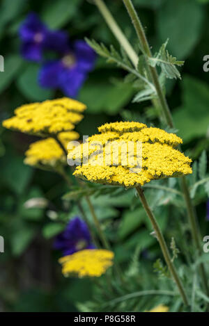 Achillea filipendulina Gold Plate,  asteraceae, yarrow, millefolium. Yellow bee friendly flowers. - Stock Photo