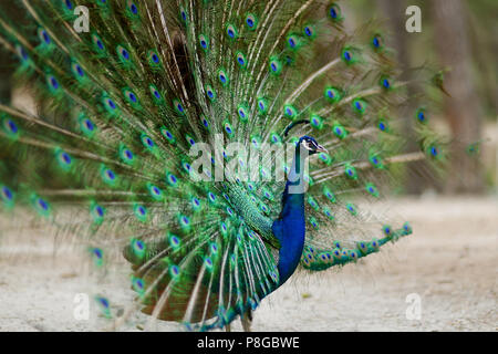 Beautiful peacock displaying his plumage - Stock Photo