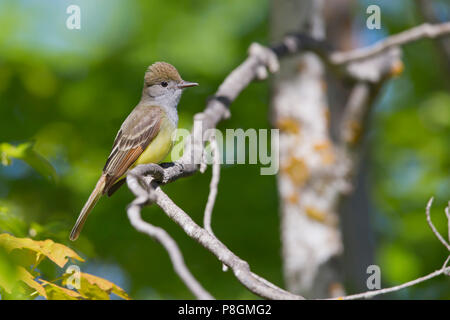 Great-Crested Flycatcher, Myiarchus crinitus - Stock Photo