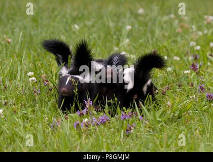 Skunk Babies - Stock Photo