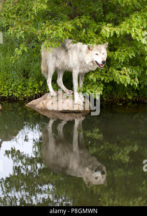 Grey Wolf Standing on a Rock with Reflection in a Quiet Lake - Stock Photo