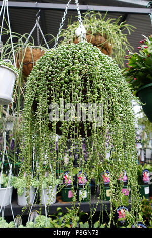 String of pearls Senecio rowleyanus Succulent growing in hanging basket - Stock Photo
