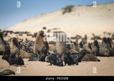 Seal colony sitting on the beach on a sunny day in South Africa. - Stock Photo
