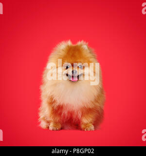 Smiling red pomeranian spitz sitting against red background - Stock Photo