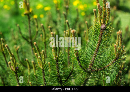 Shallow depth of field photo, young fir with blurred dandelions in back on a sunny day. Abstract spring forest background. - Stock Photo