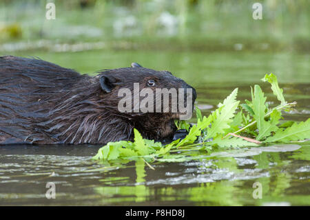 A North American beaver (Castor canadensis) eating plants in the water. - Stock Photo