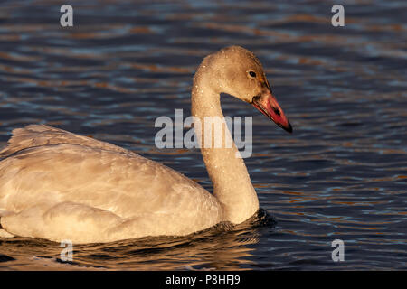 Juvenile Tundra Swan (Cygnus columbianus) looking for food while swimming in Potter Marsh, Anchorage, Alaska. - Stock Photo